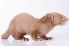 Small animal rodent. Ferret on a white background Royalty Free Stock Photos