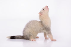 Small animal rodent Stock Photo