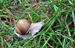 Small animal snail. Detail view, small animal snail royalty free stock photos