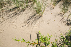 Animal tracks on the sand Stock Images