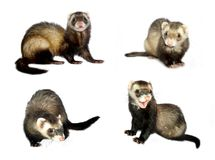 Small Animals [Isolated]. Differently posed ferrets isolated on a white background. Great for avatars, postcards, get well cards, attention-getting royalty free stock image