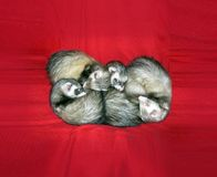 Small Animals on Red. This is such a precious scene. 4 Sleeping Ferrets on a holiday background of red velvety material. Would be great as a holiday greeting royalty free stock images