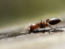 Small ANT. This ANT really small only around 2mm Royalty Free Stock Images