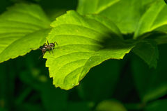 A small ant crawls over the surface of a green leaf. Macro. Royalty Free Stock Photos
