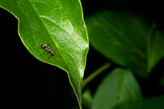 A small ant crawls over the surface of a green leaf. Macro Stock Photography