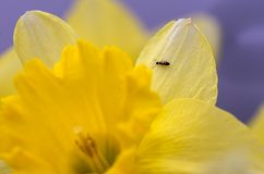 Small ant on  Daffodil Stock Photo