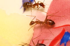 Small ant Royalty Free Stock Photo