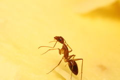 Small ant Royalty Free Stock Photography