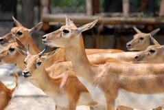 Small antelope. Several small antelopes in vigilance among Royalty Free Stock Photography
