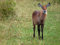 Small antelope with fluffy fur. Small antelope with a fluffy fur on a background of grass Royalty Free Stock Photo