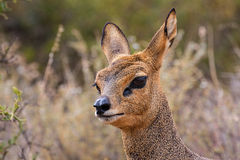 Small antelope Royalty Free Stock Image