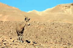 Antelope of the desert stock image