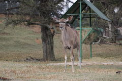 A small antelope seen at the Johannesburg zoo Stock Photo