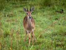 Small antelope startled looks Royalty Free Stock Photos