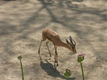 Small antelope in the zoo, with greens in the foreground stock image