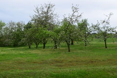 Small apple orchard. In green grassy area royalty free stock photos