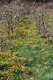 Small apple orchard in spring. Picture of a Small apple orchard in spring Stock Image