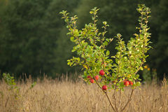 Small apple tree Stock Image