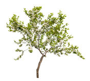 Small apple tree blossom Stock Images