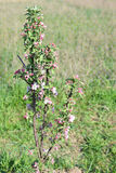 Small apple-tree in blossom Royalty Free Stock Photo