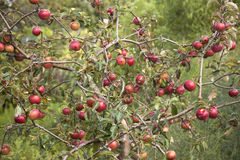 Small apple tree full of red apples Stock Photos