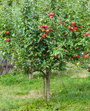 Small apple tree in a garden Stock Photos