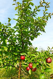 Small apple tree. Royalty Free Stock Photos
