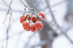 Small apples on a branch covered with hoarfrost Royalty Free Stock Image