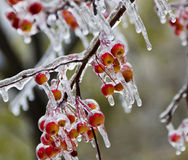Small apples, covered in ice, icicles after the freezing rain Stock Photos