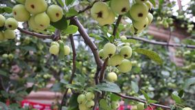 Small apples. Grow at the end of summer .Very delicious fruit stock video