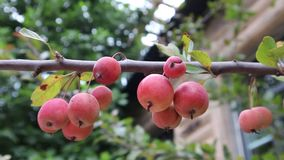 Small apples. Grow at the end of summer .Very delicious fruit stock video footage