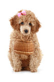 Small apricot color poodle with wicker basket Royalty Free Stock Photography