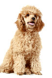 Small apricot poodle (5 month) royalty free stock photos