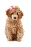Small apricot poodle with pink bow
