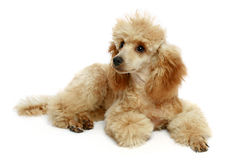 Small apricot poodle puppy Stock Image