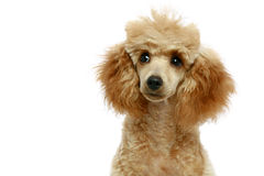 Small apricot poodle puppy stock photo