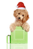 Small apricot poodle puppy is in a gift box royalty free stock image