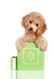 Small apricot poodle puppy is in a gift box. Isolated on white background royalty free stock photos