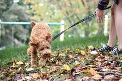 Girl Walking Energetic Poodle Puppy in Autumn. Small Apricot poodle puppy running down hill while girl struggles to hold onto the leash royalty free stock image