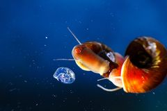 Small aquarium snail mom and her offspring in eggs caviar in blue water.  Stock Photography