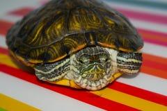 Small  aquarium water turtle. Small home aquarium water turtle Royalty Free Stock Image