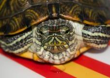 Small  aquarium water turtle. Small home aquarium water turtle Stock Image