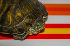 Small  aquarium water turtle. Small home aquarium water turtle Stock Photography