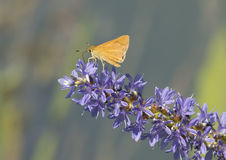 Small Arogos Skipper Butterfly on Pickerelweed Royalty Free Stock Photography
