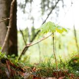 Small ash tree at forest floor Royalty Free Stock Photos