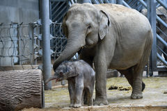 Small Asian elephant baby Royalty Free Stock Image