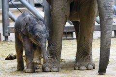Small Asian elephant baby Stock Images
