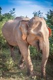 Small asian elephant standing and looking on camera in national park in Sri lanka. Small asian elephant standing and looking on camera in national park in Sri stock photo