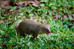 Small asian mongoose Royalty Free Stock Image