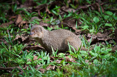 Small asian mongoose Royalty Free Stock Photography